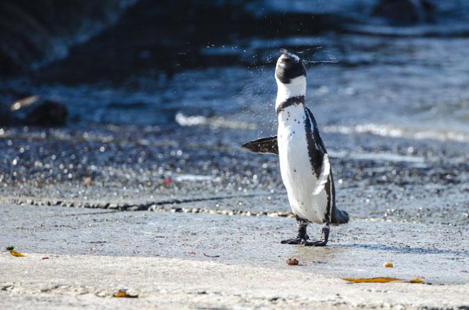 penguin-de-hoop-nature-reserve-garden-route-south-africa-africageo
