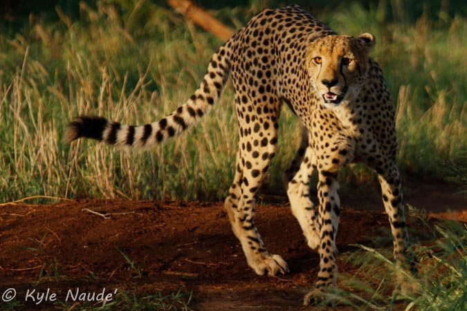 cheetah-prowl