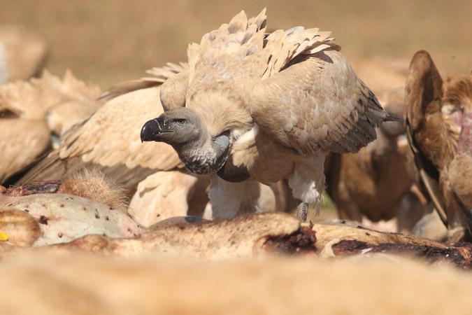 vulpro-vulture
