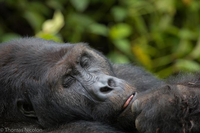 Gorillas - Kahuzi-Biega National Park - Congo.