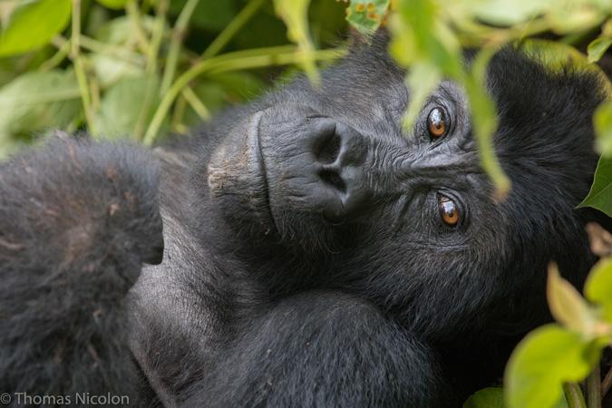Gorilla - Kahuzi-Biega National Park - Congo