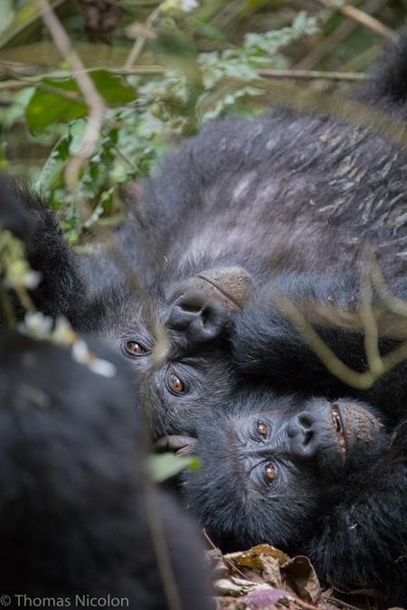 gorillas - Kahuzi-Biega National Park - Congo
