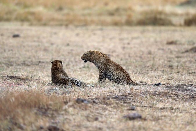 leopards-mara