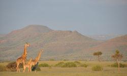 angolan-giraffe-damaraland-namibia