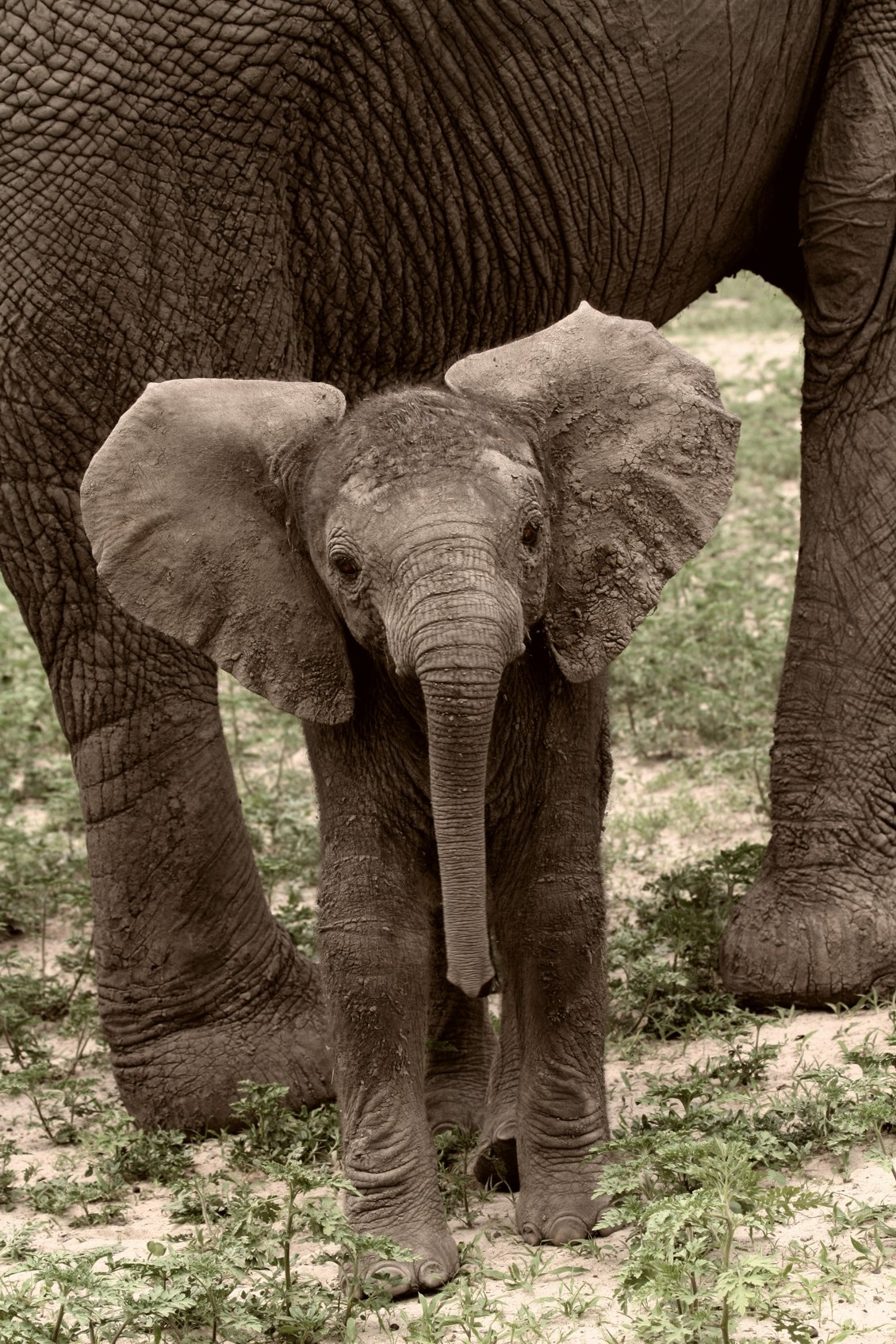 Baby Elephant Ears Out Conservation Action Trust Africa Geographic