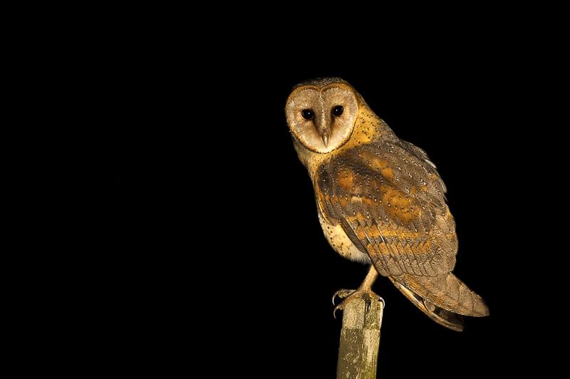 barn-owl-by-brendon-jennings