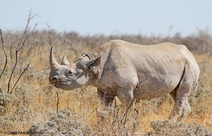 black-rhino-2-etosha-np-web