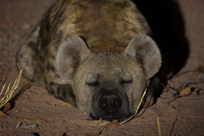 hyena-sleeping