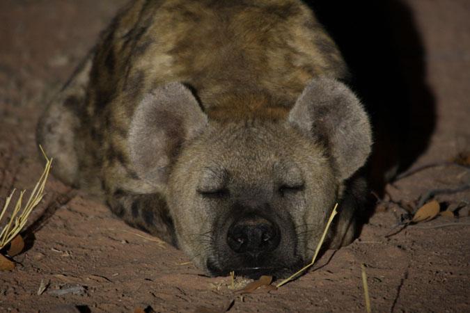 hyena-sleeping