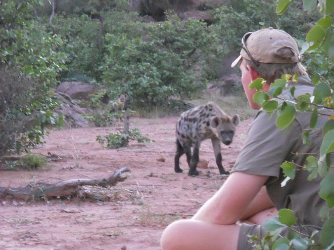 hyena-encounter