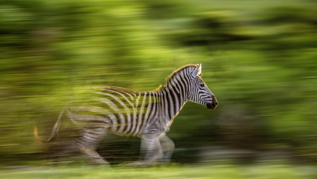 brendon-jennings-umlani-timbavati-kruger-photographic-safari-lanner-zebra