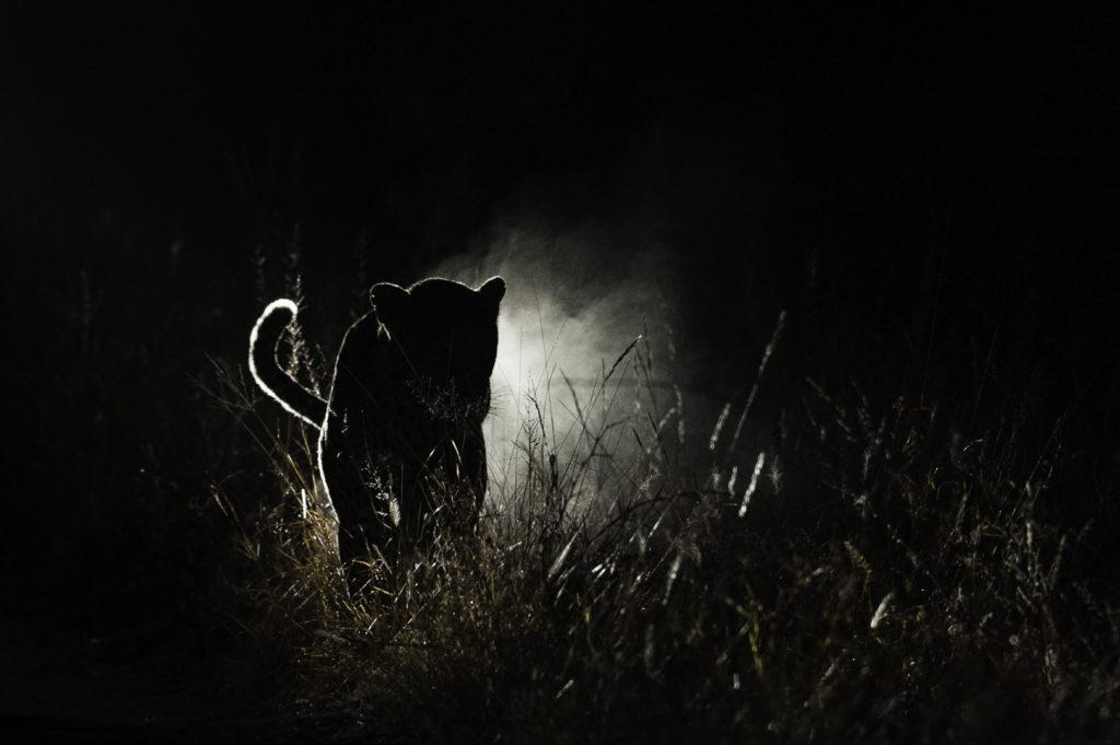 brendon-jennings-umlani-timbavati-kruger-photographic-safari-leopard-night-drive