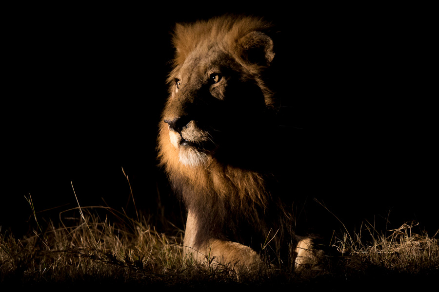 brendon-jennings-umlani-timbavati-kruger-photographic-safari-lion-night-drive-wp