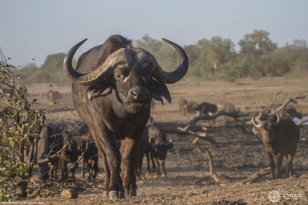 cape-buffalo-umlani-timbavati-photographic-art-safari