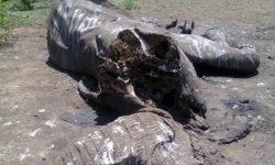 charlie-elephant-carcass-4-dec-2016-2