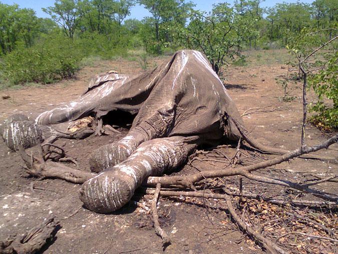 charlie-elephant-carcass