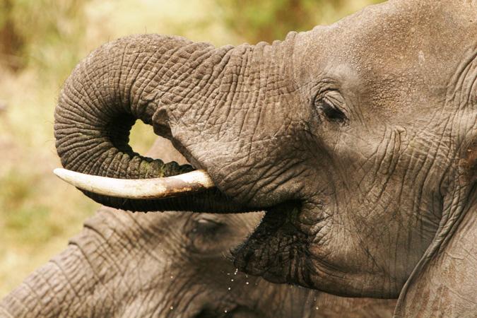 elephants-drinking-close-up-francis-garrard
