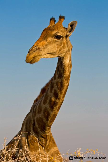 etosha-giraffe-Christian Boix