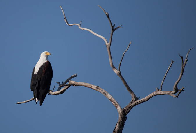 fish-eagle-in-tree-nkwichi-lodge