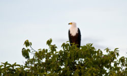 fish-eagle-in-leafy-tree-nkwichi-lodge