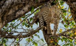leopard-tree-1