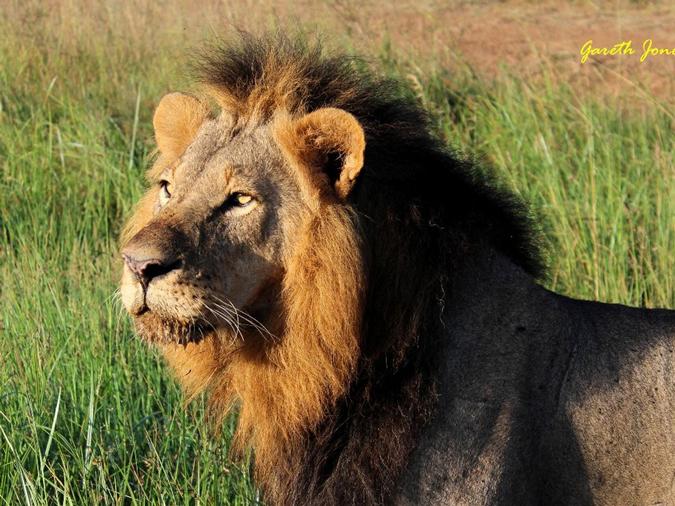 mohawk-the-lion