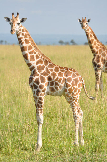 nubian-giraffe-murchison-falls-uganda