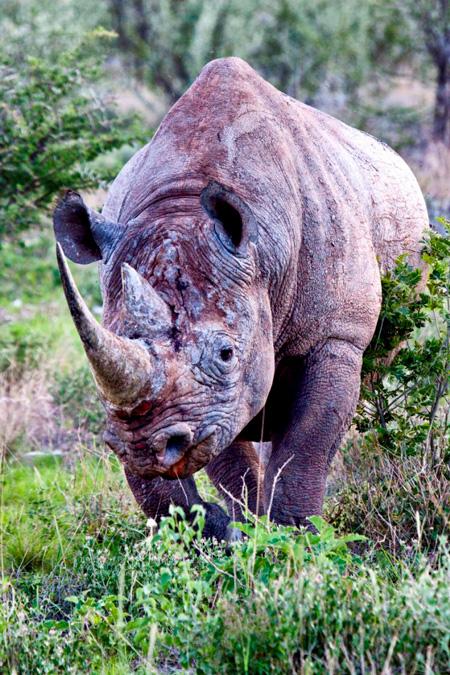 rhino-portrait-mike-kendrick