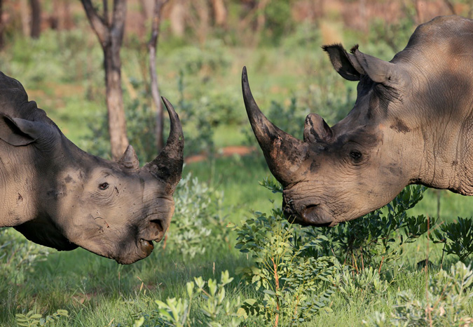 two-rhinos-conservation-action-trust