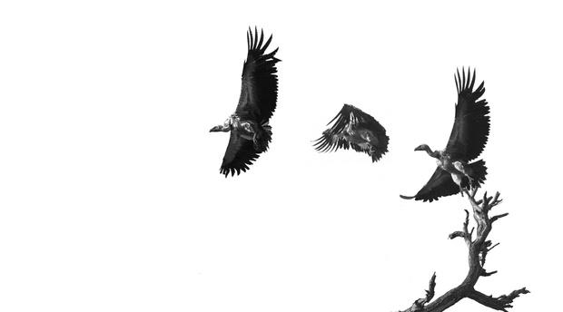 vultures-umlani-photographic-safari-timbavati