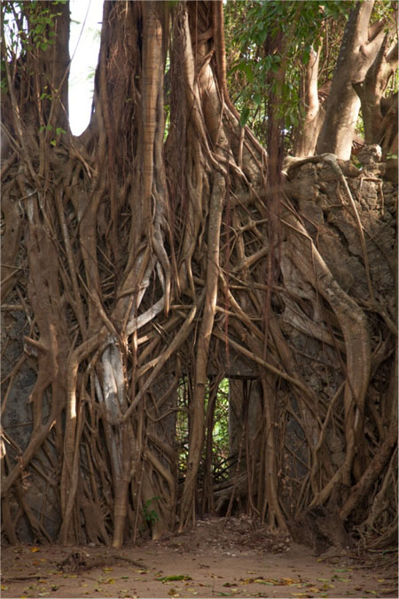 baobab-roots-ruin