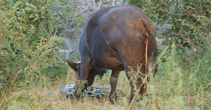 buffalo-timbavati-3