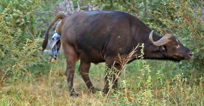 buffalo-timbavati