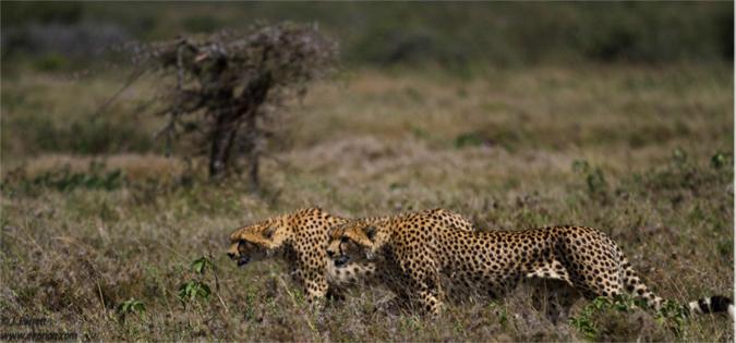 cheetah-brothers