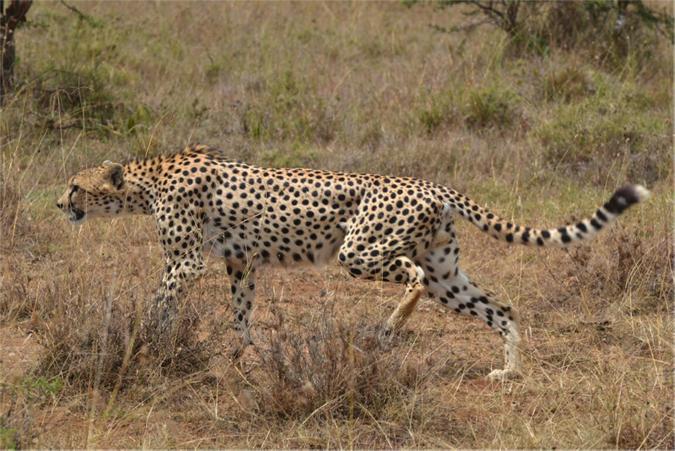cheetah-injured