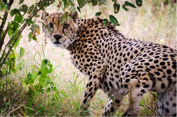cheetah-under-tree