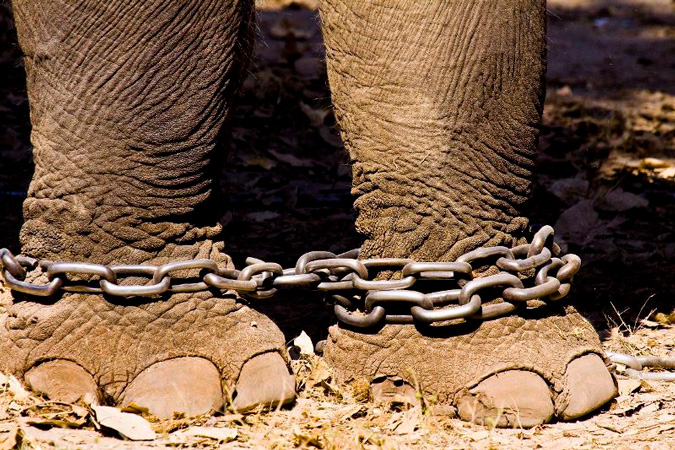 chains elephant