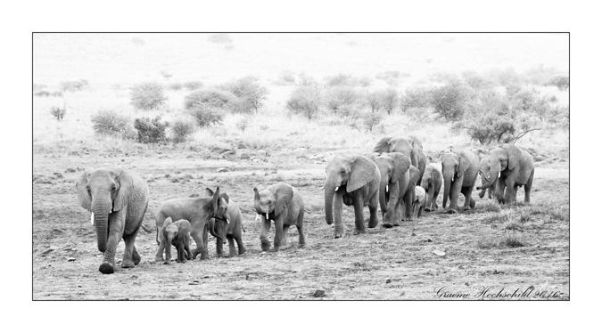elephants-black-white