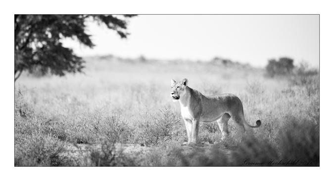 female-lion