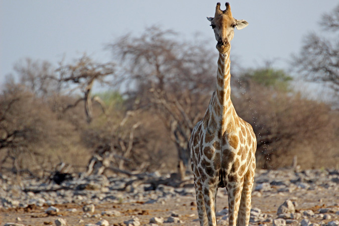 giraffe-Etosha -Christian Boix