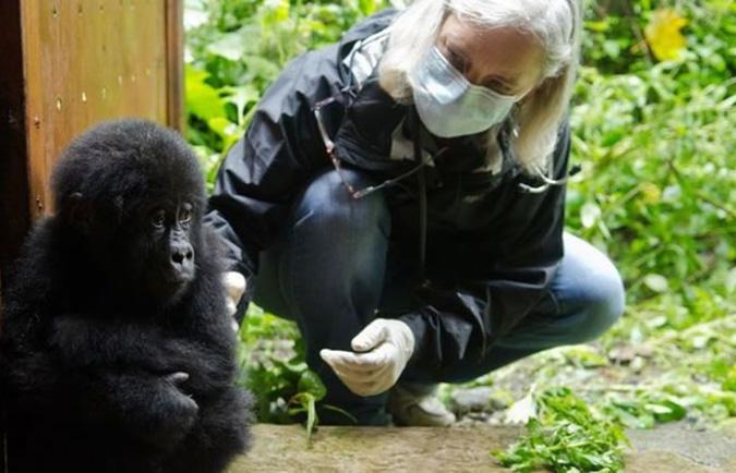 gorilla-on-treatment