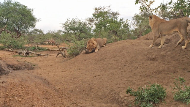 lion-kills-hyena