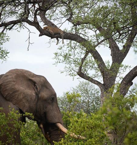 leopard-marula-tree-elephant