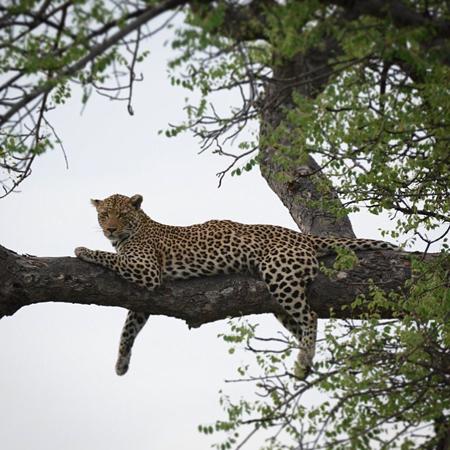 leopard-marula-tree