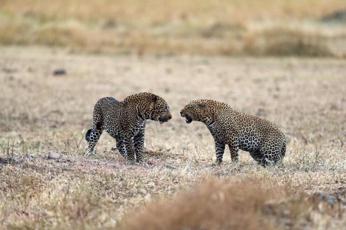 leopard-fight-mara