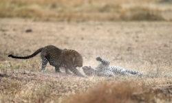 leopard-fight-mara-3