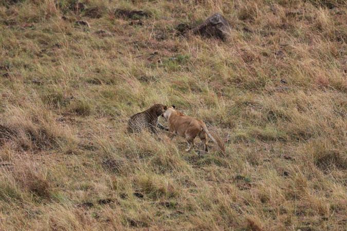 leopard-lion-mara