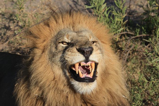 lion- Conservation-Action-Trust