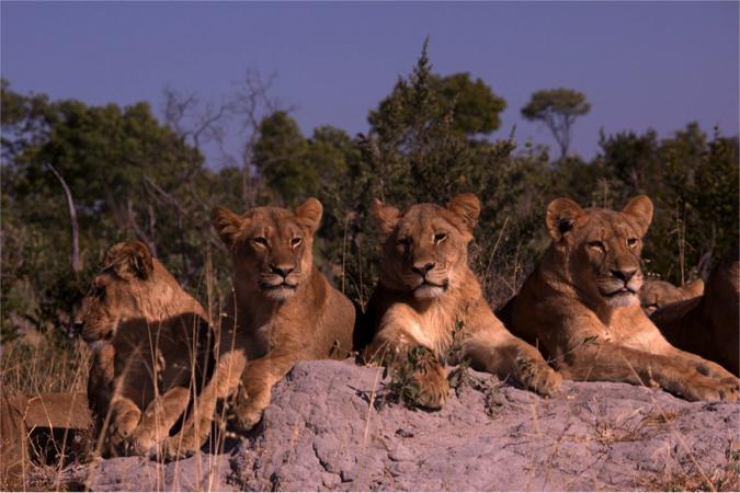 lions-cecil-cubs