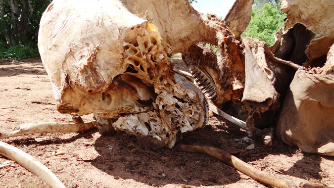 poached-ele-carcass-conservationaction